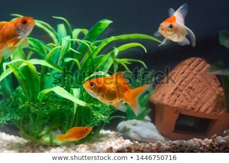 Boom aquarium goudvis geïsoleerd witte water Stockfoto © FreeProd