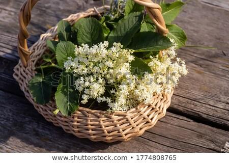 blooming elder plant tree stock photo © stevanovicigor