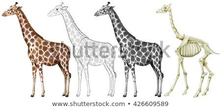 Zsiráf csont struktúra illusztráció természet háttér Stock fotó © bluering