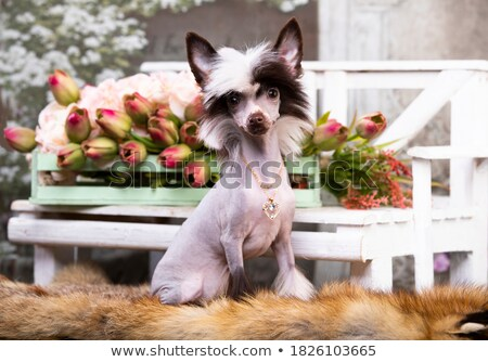 Chinese Crested Dog with scraf in a white studio Stock photo © vauvau