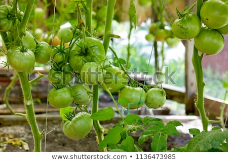 Green tomatoes growing on the stem Stock photo © IS2