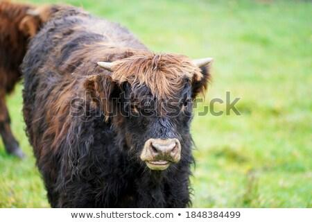 ブラウン クローズアップ 頭 ほ乳類 動物 茶色の髪 ストックフォト © compuinfoto