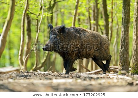 wild hog in natural habitat Stock photo © taviphoto