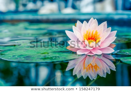 pink water lily on green background stock photo © colematt