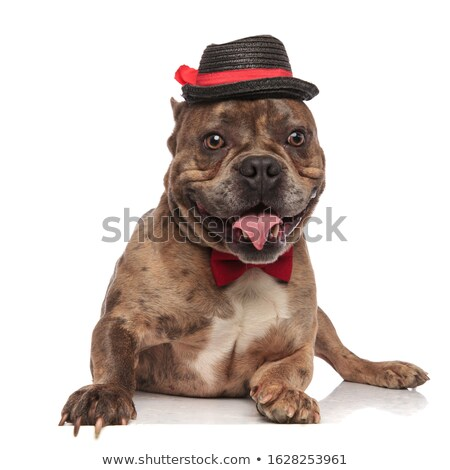 American bully puppy wearing hat and bowtie sitting Stock photo © feedough