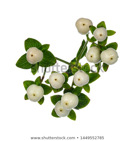 Hypericum Coco Uno on white Stock photo © CatchyImages