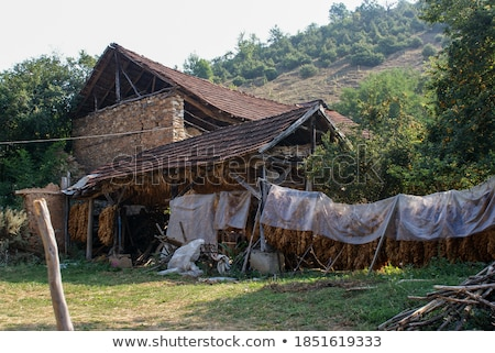 Traditional tobacco drying in tent Stock photo © simazoran