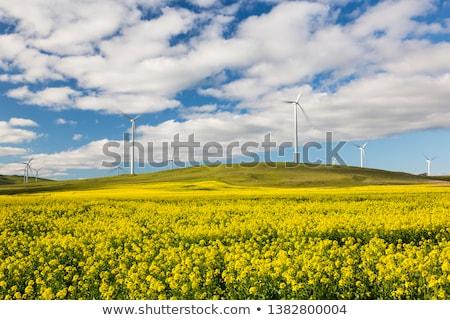 Wind turbines in a flowering canola field Stock photo © elxeneize