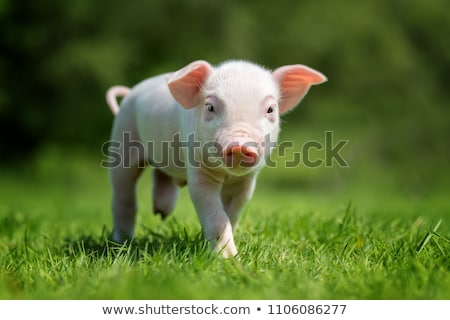 Newborn Piglet Stock photo © meodif