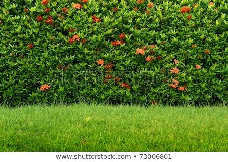 Seamless background - hedge Stock photo © johnnychaos