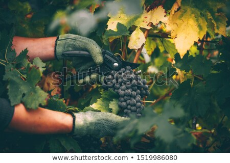 Grape picker Stock photo © photography33
