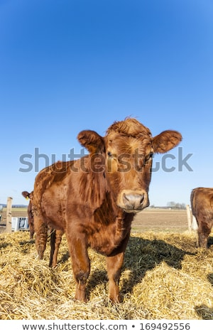Amigável gado palha blue sky boca natureza Foto stock © meinzahn