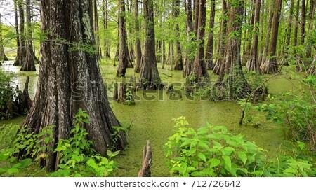 Cypress as an island of green grass Stock photo © lunamarina