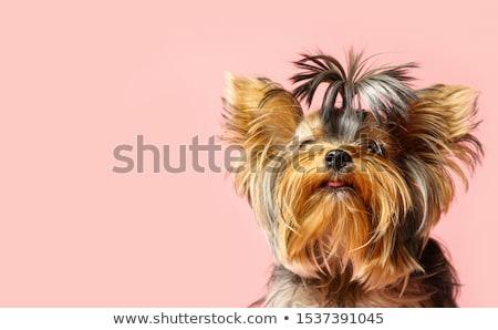 funny yorkshire terrier stock photo © algor