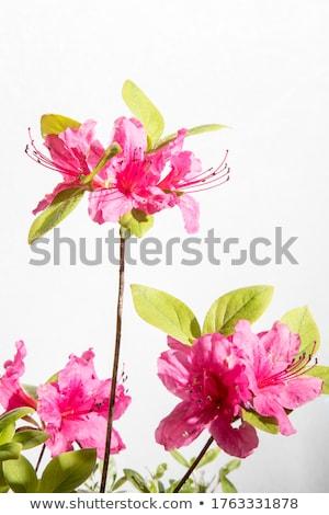 Koninklijk azalea vol bloeien boom voorjaar Stockfoto © varts