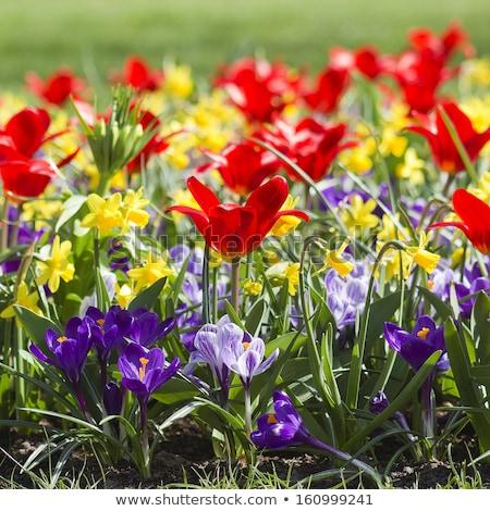 Голландии тюльпаны Пасху цветы весны Сток-фото © tannjuska