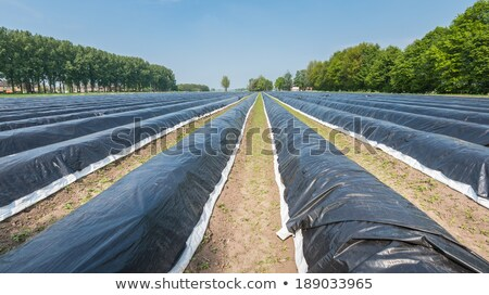 field of asparagus in spring covered with foil stock photo © meinzahn