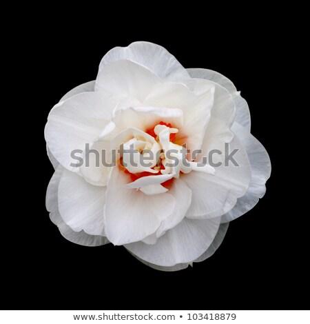 Daffodil цветок букет изолированный белый Сток-фото © natika