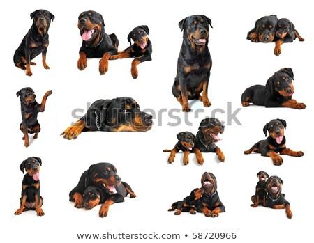子犬 · 成人 · ロットワイラー · 白 · 犬 · 黒 - ストックフォト © cynoclub