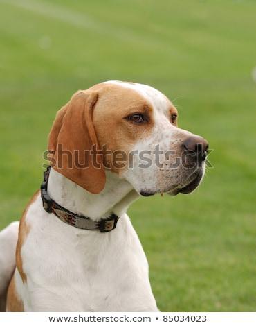 Barna kutya zöld fű gyep vicces park Stock fotó © CaptureLight