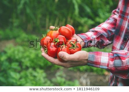 Organic cultivation tomatoes Stock photo © marimorena