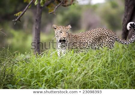 Leopar ağaç park Güney Afrika Stok fotoğraf © simoneeman