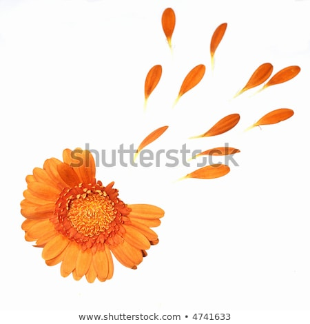 Loves me not daisy flower on color background Stock photo © cienpies