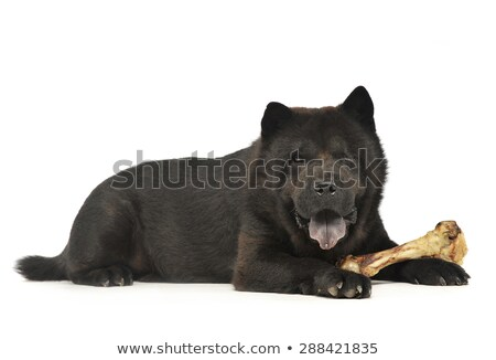black one blind chow chow with a big bone eating in studio Stock photo © vauvau