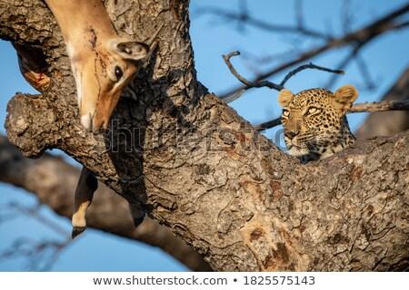 leopard with an impala kill in a tree stock photo © simoneeman