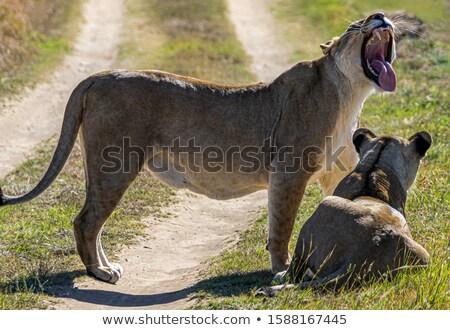 feminino · leão · em · pé · grama · parque · Botswana - foto stock © simoneeman