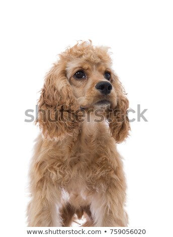 Partial frontal portrait of a cocker spaniel Stock photo © ozgur