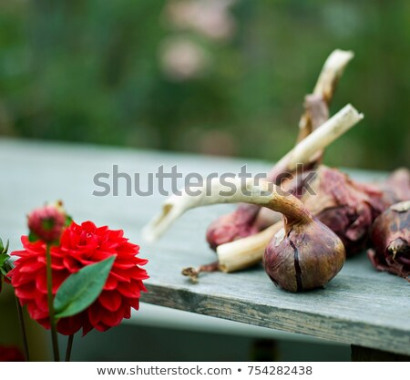 Some onions and a red Dahlia flower Stock photo © IS2