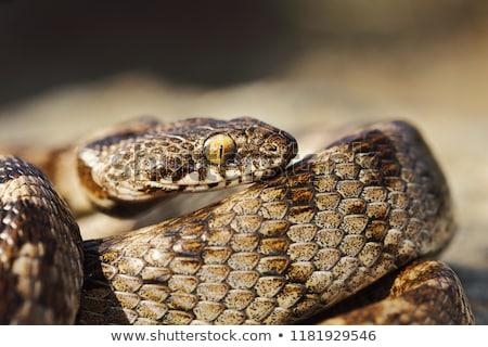 Macro tiro juvenil gato serpiente naturaleza Foto stock © taviphoto