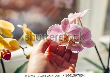 Phalaenopsis flower Stock photo © Antonio-S