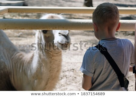 the boy looks at the camels at the zoo stock photo © galitskaya