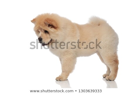 side view of adorable chow chow panting and looking down Stock photo © feedough