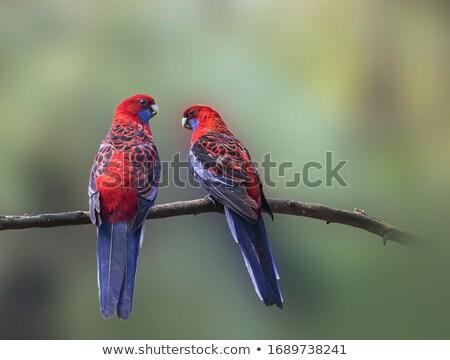 Crimson Rosella Wild Stock photo © THP