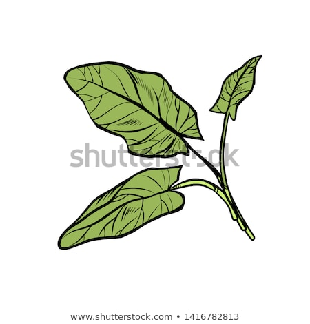 sorrel, garden of culinary plants, spices Stock photo © studiostoks