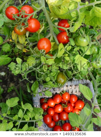 Plump red tomatoes on the vine, above a full basket  Stock photo © sarahdoow