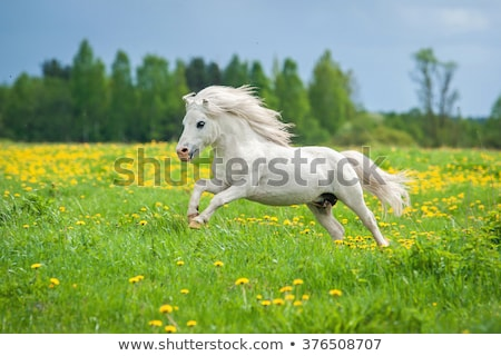 beautiful white shetland pony on the field stock photo © galitskaya