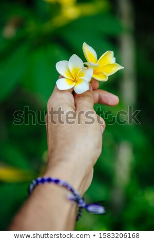 Plumeria (Frangipani) flowers in a male hand at Bali, Indonesia Stock photo © boggy