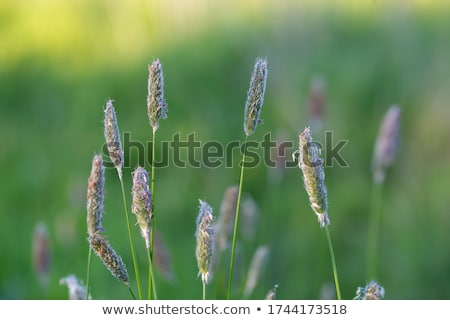 Meadow foxtail (Alopecurus pratensis) Stock photo © rbiedermann