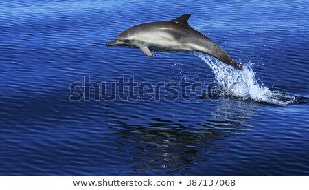 Common bottlenose dolphin playing Stock photo © TanArt