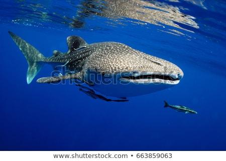 Bálna cápa illusztráció óceán állat vektor Stock fotó © lenm