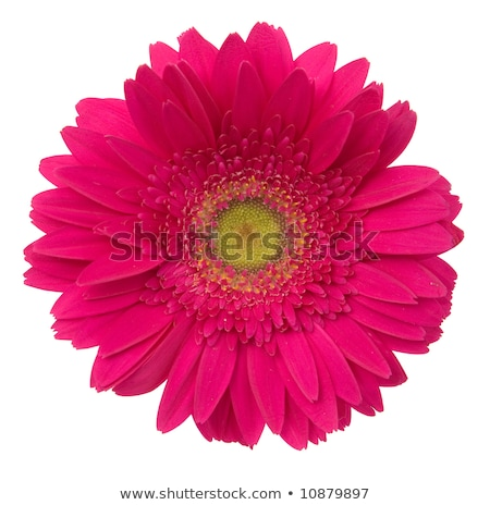 Daisy bloem macro bloemen paars Stockfoto © REDPIXEL