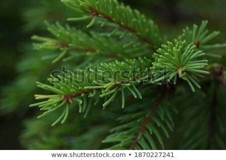 Close up of Yew Tree branch Stock photo © TheFull360