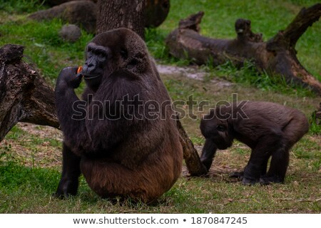 ape eating grass stock photo © c-foto