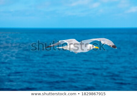 herring gull standing in front of blue ocean stock photo © shihina