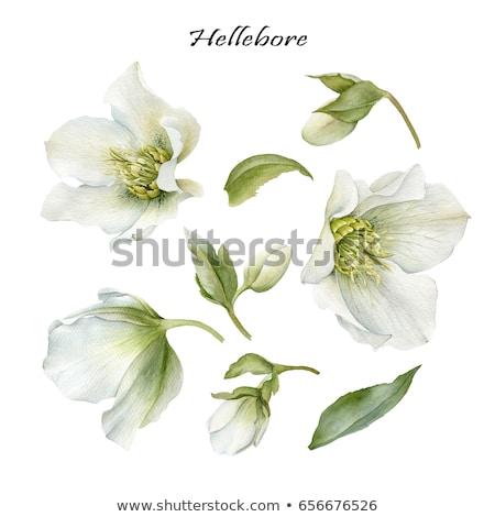 Botânico branco florescer jardim botânico natureza Foto stock © emattil