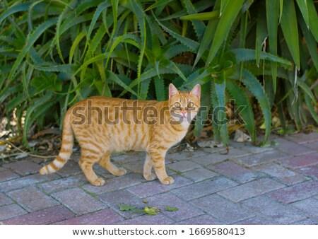 kedi · profil · güzel · çizgili · kahverengi · sığ - stok fotoğraf © ca2hill